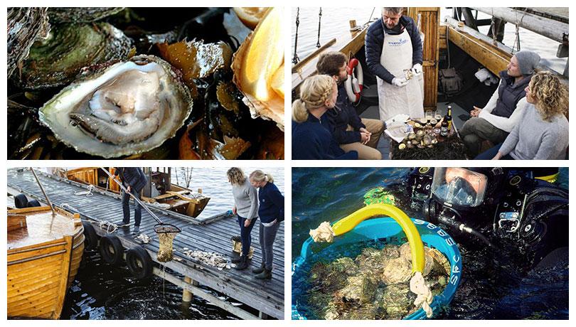 Schalentiere aus Schweden von Bohusläns Küste: Austernfang und Austernverkostung in Grebbestad in Westschweden