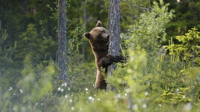 Nordschweden: Bär in Schwedisch Lappland im Norden von Schweden