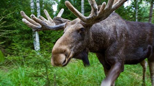Südschweden: Elch in Småland